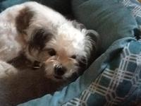 8 month old female Shihtzu puppy playful house trained