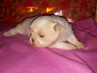 I have four litters of shihtzu pups for sale, primarily