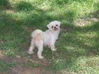 MAGGIE IS A 5 YR OLD FEMALE SHIH TZU. SHE IS CKC REG