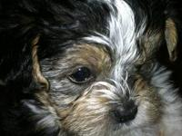 These guys will be little. Mom is a 4 1/2 lb Shih Tzu,