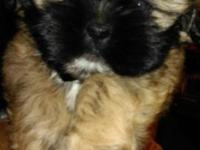 2 males and 1 female full blooded shih tzu puppies.