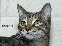 Shiloh B's story Shiloh B. is a classic tabby neutered