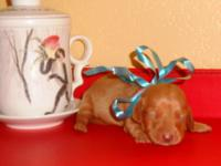 MEET SHILOH! Cutest little super duper Doxie! She is an