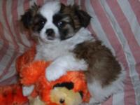 Shinese (Shih-tzu/Pekingese) Family raised in our home.