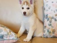 One male and two female Siberian Husky puppies for