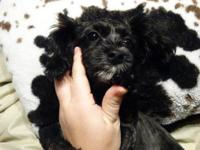 4 month old shipoo puppy. She is a cross of shih tzu