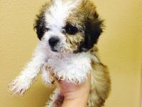 8 weeks old Shipoo puppies shots and wormed males and