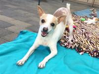 Shirley is a sweet, gentle Chihuahua mix girl who wants