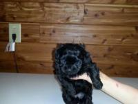 Black female 8 wks old first shots and wormer Very Cute