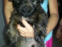 For sale 9 weeks old shitzhu terrier mix .very playfull
