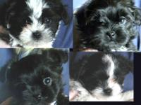 I have 4 adorable Shih Tzu - Toy Poodle Mix puppies. 3