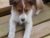 I only have 3 cute male ACA / APRI Sheltie Puppies for