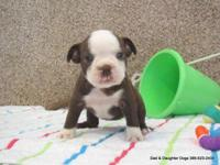 Shmoo is a tiny but tough red and white female Boston