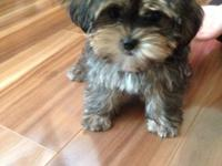 """Gruff"" is a small apricot male Shorkie puppy . He was"
