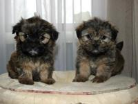 We have 1 female and 1 male Shorkie ready to go