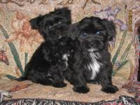 I have some Shorkie babys looking for homes, both boys