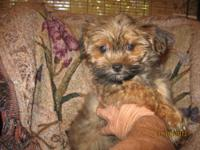 I HAVE A SHORKIE BABY GIRL LOOKING FOR A HOME SHE IS