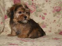 Darling Female Shorkie. Will make the right person a