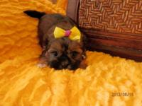 MANDY SHORKIE PUPPY FEMALE 650.00 Mandy is a sweet