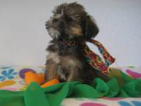 SADIE IS A GOLDEN SHORKIE FEMALE WITH A VERY LOVING BUT