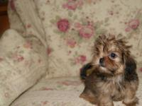 Beautiful Shorkie Male. These puppies are 5mo old. My