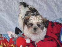 """TOBY"" Adorable Shorkie Male !!! Shih-tzu mom (8 lbs)"