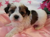 Shorkie Puppy Male Benny 600.00 Benny is a brown and