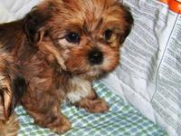 Shorkie(Shih-tzu/yorkie) Family raised. Great family