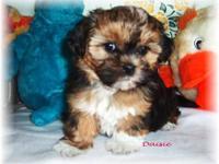 Shorkie-poo (Shih-tzu/yorkie/poodle) Family raised.