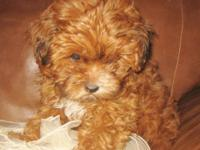 "Meet ""Cinnamon Girl."" One-of-a-Kind, Shorkie-Poo baby."