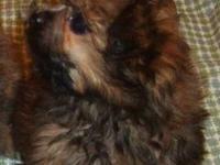 Shorkie-poo(Shih-tzu/yorkie/poodle) Family raised in