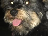 Adorable Shorkie (Shi tzu / Yorkie mix) male and
