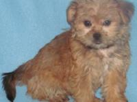 **ON SALE $325+tax (Brindle Shorkie Only) LIMITED TIME