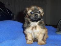Skorkie puppies, family raised pets, they must go to