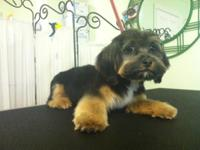 Cute Male Shorkies (Shih Tzu blended with Yorkshire
