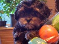 We have four Shorkie puppies that are available, all of