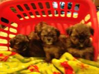 Shorkie puppies ready for a loving home. Born on