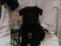 Shorkie puppies for sale. One male (black and tan) and