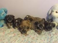 Beautiful litter of Shorkie Puppies for sale. Dad is