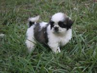 I have 2 ADORABLE Shorkie puppies that will be ready