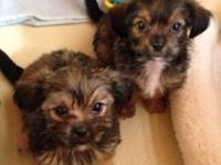 Offered now. 1 male& & 2 female cute Shorkie Littles !!