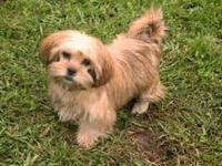 Adorable Shorkie Puppies- Golden brown Males only.