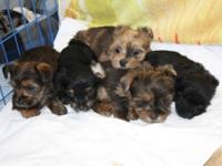 Awesome ,Shorkies. 3/4 Yorkie, Unique in color. Born