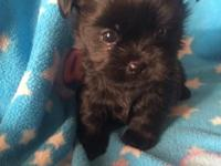 We have Shorkies !! ( ShihTzu/Yorkie ) puppies ready