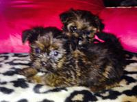 SHORKIE PUPPIES SHITZU/ YORKIE mix puppies X- Tiny