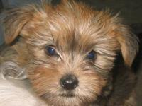 Shorkie Puppies (Yorkie/Shih Tzu) Males & Females