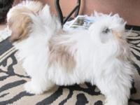 Shorkie Puppies (Yorkshire Terrier / Shih Tzu) Males,