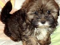 Shorkie Puppies ( Yorkie / Shih Tzu ) Males & Females