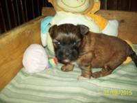 I have one shorkie male his mom is a shih tzu 8 pds.