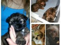 I have a male shorkie (shih tzuh and yorkie) puppy
